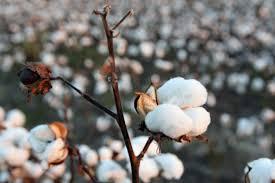 Il cotone GM minaccia il futuro dell'agricoltura biologica in India