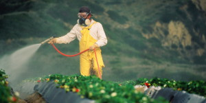 Worker spraying strawberry fields with pesticide