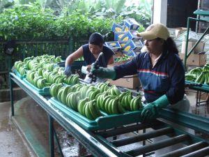 Quanto sono sostenibili le nostre banane?