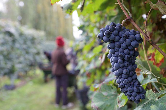 Il vino biodinamico pugliese