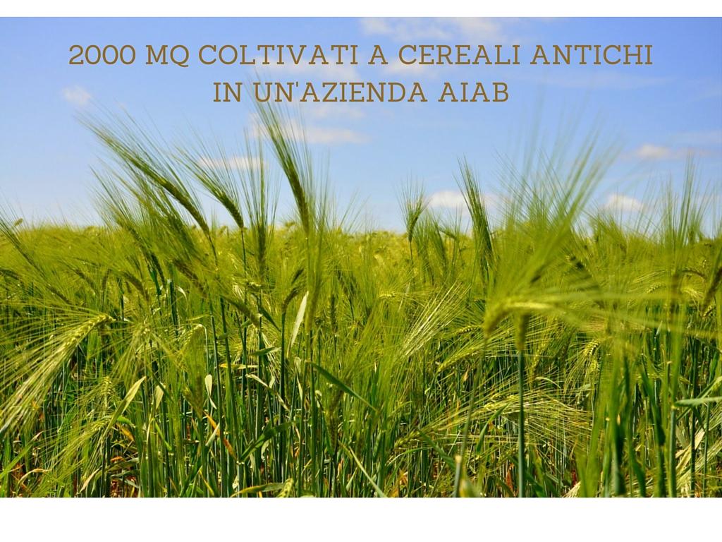 2000mq coltivati a cereali antichi in un azienda AIAB