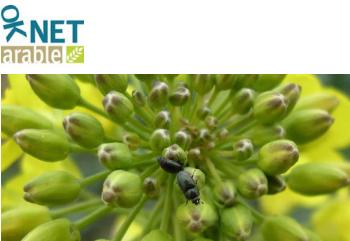 OK-NET: nuovo strumento per migliorare la coltivazione delle rape