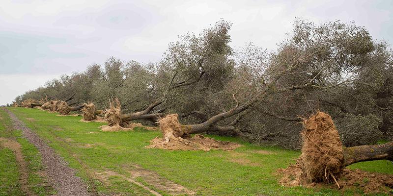 """AIAB su Xylella e obbligo di pesticidi: """"Grave attentato all'agricoltura bio e serie ripercussioni economiche e ambientali"""