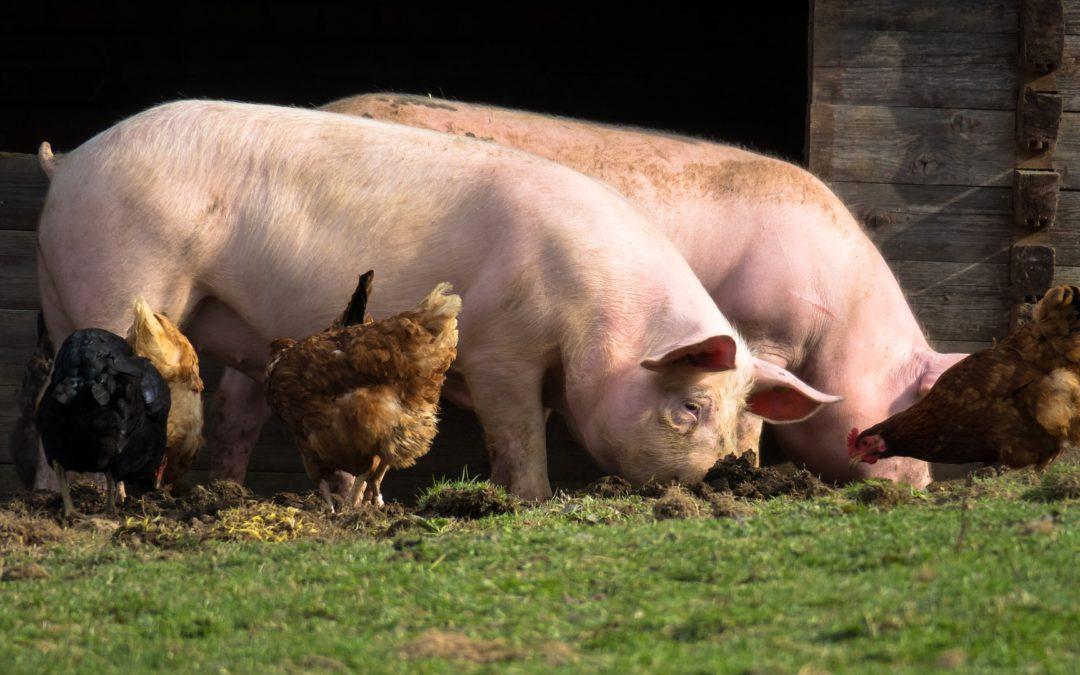 Ok Net Eco Feed per un'alimentazione animale bio al 100%. Un nuovo Video