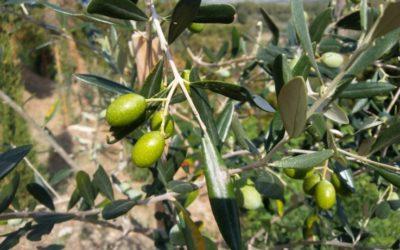 Dimetoato in olivocoltura: Una proroga a danno danno dei consumatori