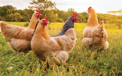 Poultrynsect: larve di insetti vivi per polli bio. Webinar il 12 aprile