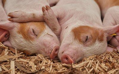 Benessere animale nei monogastrici: è l'ora di dire la vostra.