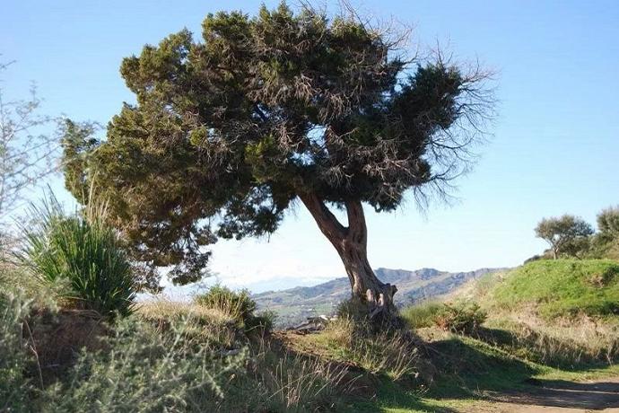 Il Ginepro Fenicio, pianta tra le più rare al mondo, rischia l'estinzione. Tu puoi salvarla